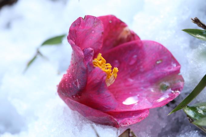 雪に埋もれた椿