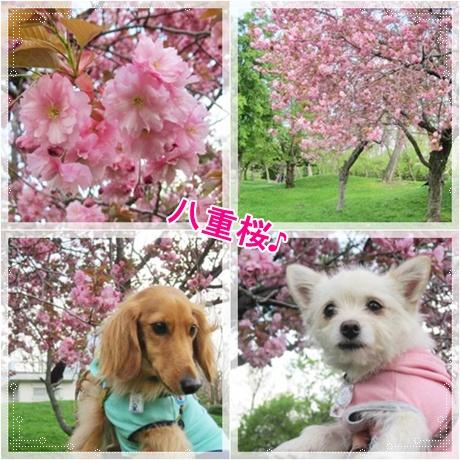 ~八重桜~