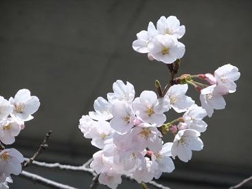 お花見20123