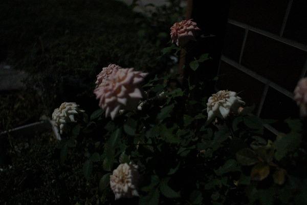月灯のミニバラ