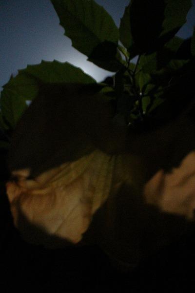 月灯のエンゼルトランペット