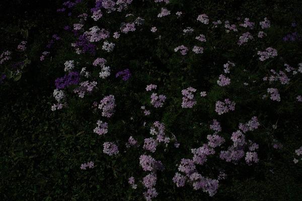 月明りの花