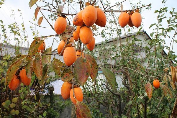 渋柿25.11.28 南西の菜園
