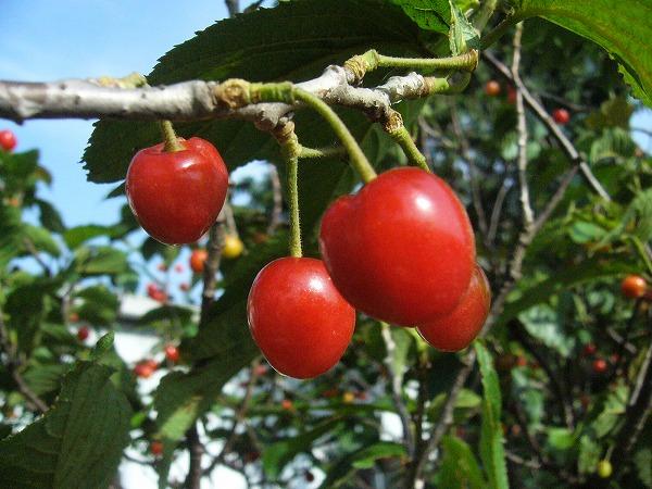 赤い実のさくらんぼ