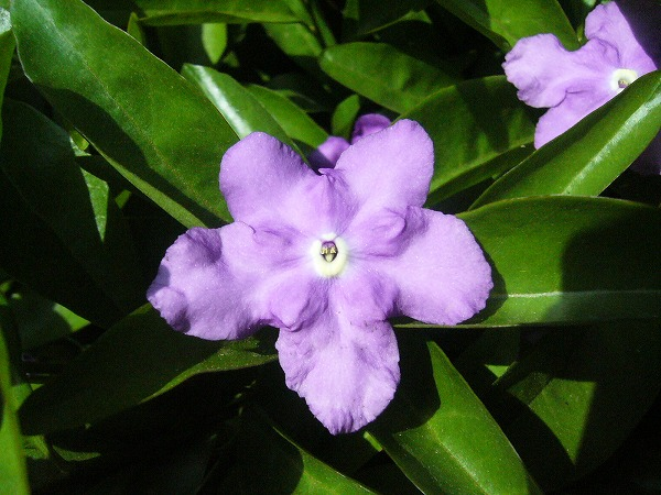 マツリカ紫