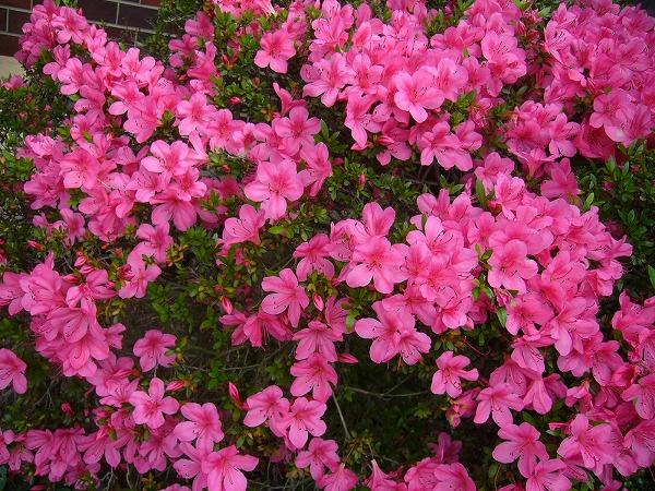 玄関横のさつきピンク
