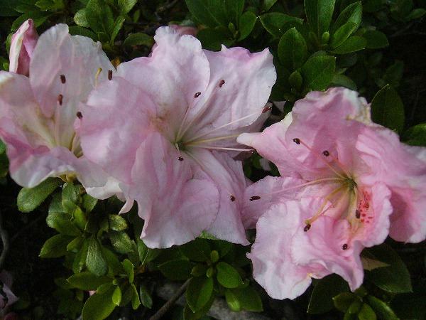庭のサツキいろいろな色
