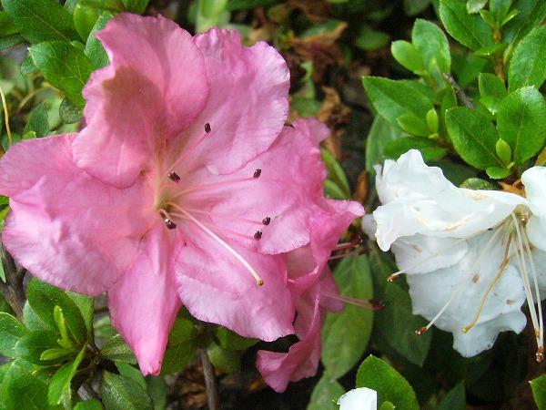 色々な色が咲くサツキ