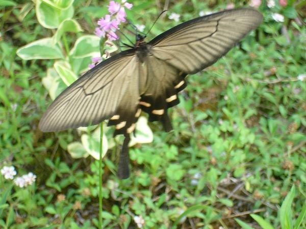 大きな蝶1