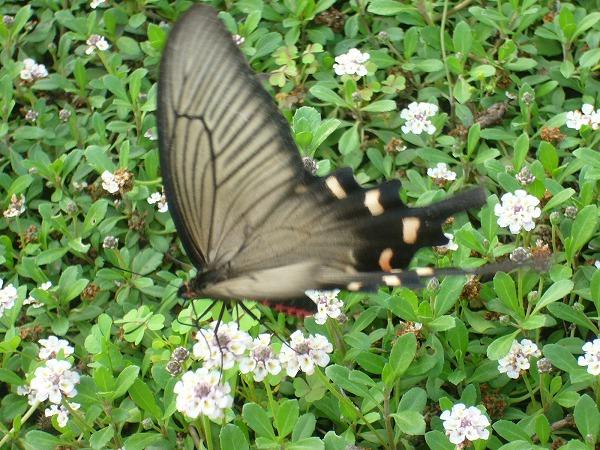 大きな蝶2