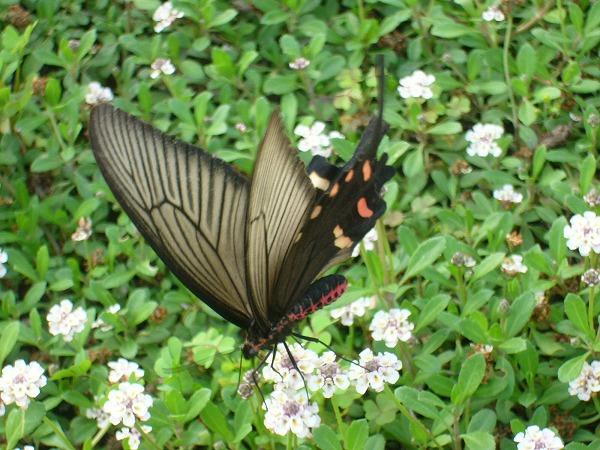 大きな蝶3