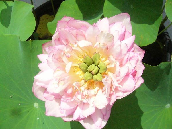 蓮の八重の花3
