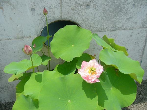 蓮の花全体