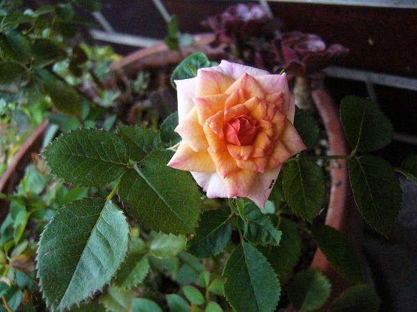 オレンジのミニバラ咲く
