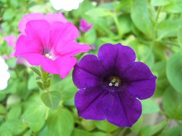 ペチュニアピンク紫