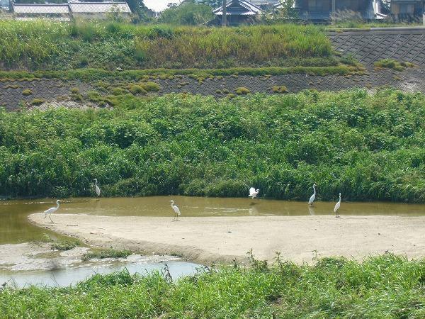 高瀬川に白い鳥いっぱい