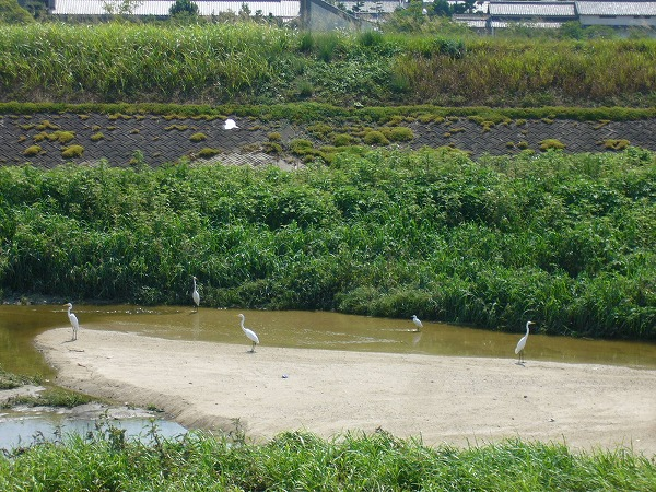 高瀬川に白い鳥2