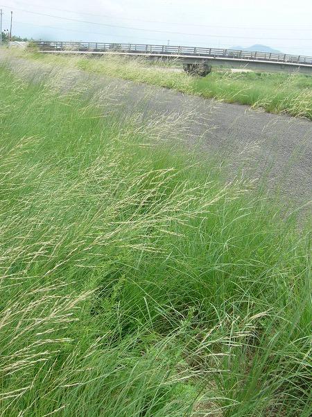 高瀬川土手の草と三野津橋