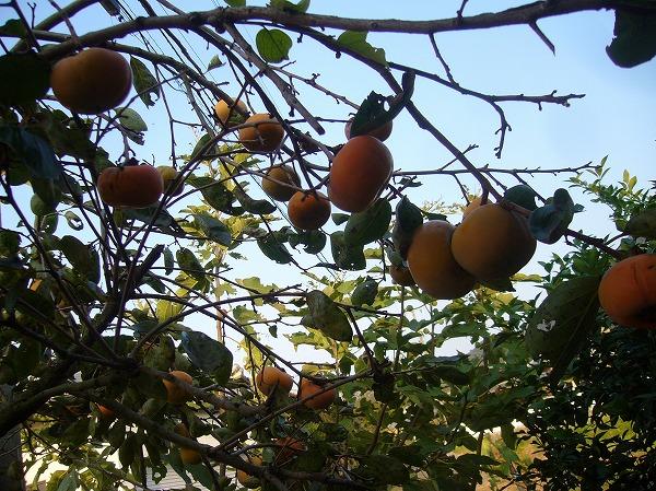 柿の実 実ってます