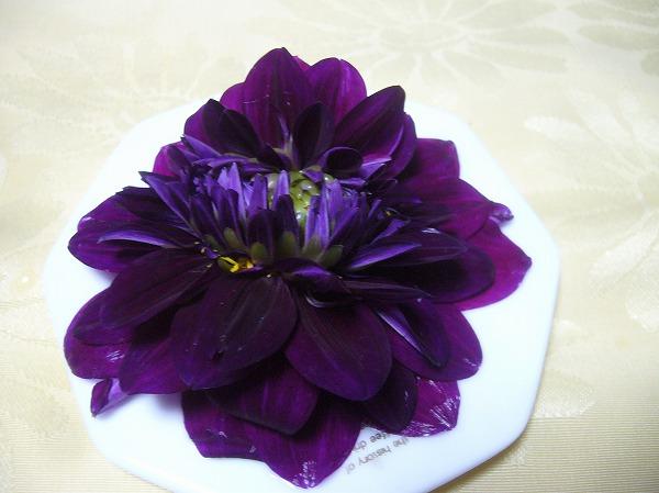 濃い紫ダリア花