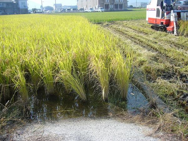 モチ米の稲刈り始まり