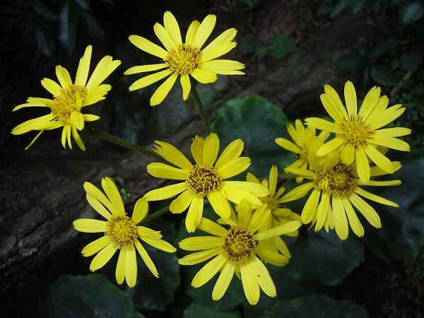 ツワブキ右側の花 25 11 13