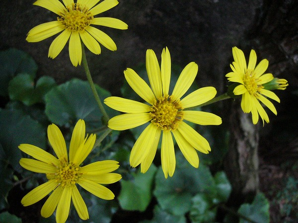 ツワブキ左側の花 25 11 13