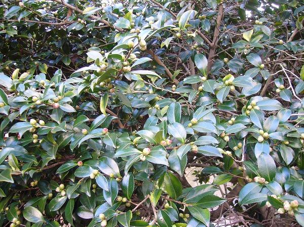 山茶花のつぼみが膨らんで25.11.22
