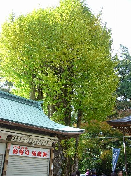 白峰寺 イチョウ巨木