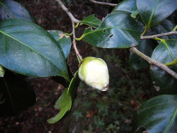 椿咲き初め白25.11.21
