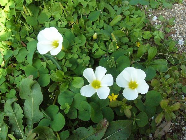 ブイブイガーデンの白い花
