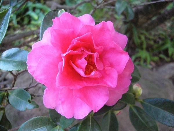 山茶花の花25.12.8