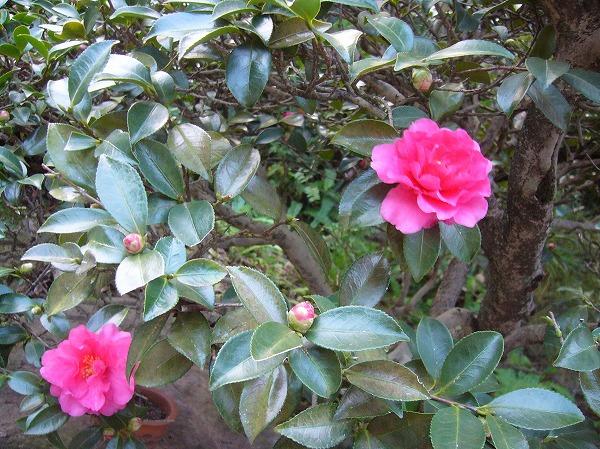 庭の山茶花 H25年冬