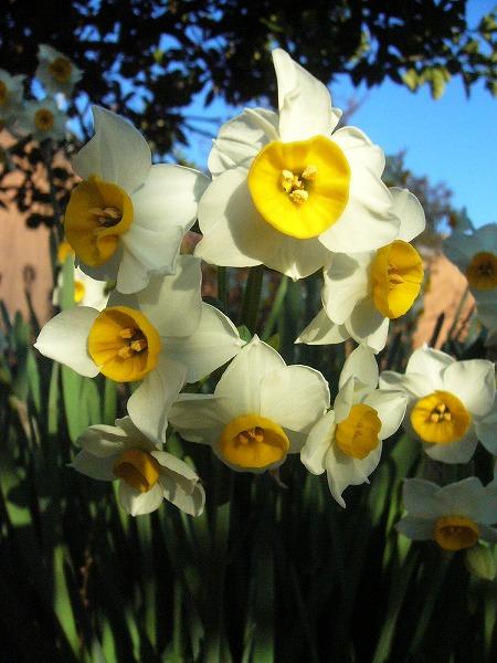 水仙の花26.1.8