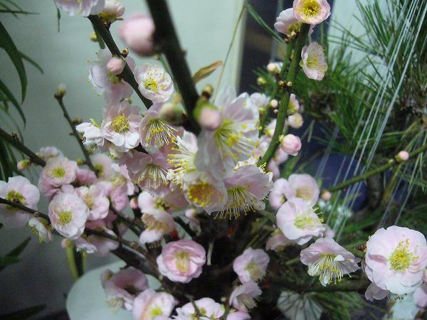 ピンク梅の花横