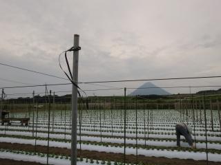 スナップエンドウ畑