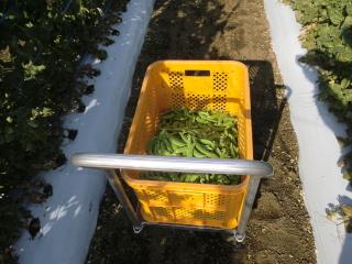 スナップエンドウ初収穫