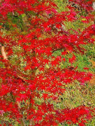 紅葉 2011.11.13 004
