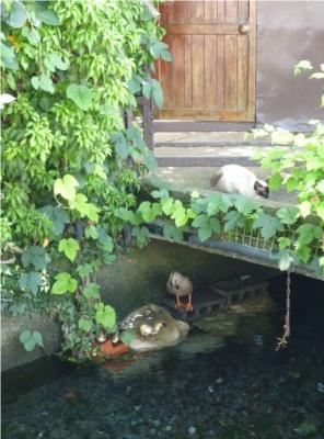 桜川 白滝公園 小鴨