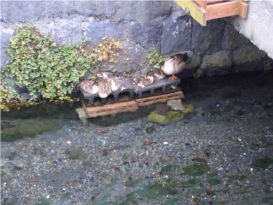 白滝公園 桜川 子鴨