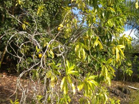 アブ フルーツの木