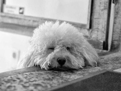 プードル 犬 モノクロ 表情 眠る