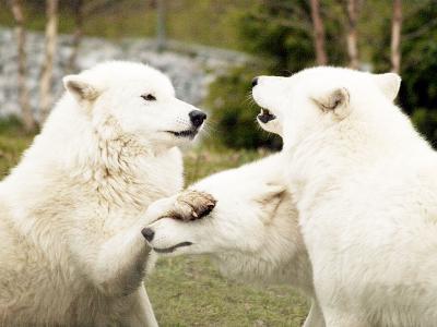 動物 狼 参匹 じゃれる