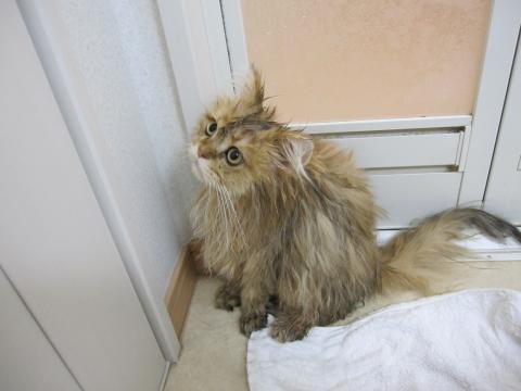 20101017007ネコ洗い