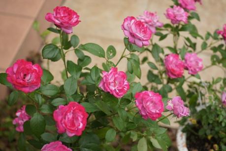 ブルーリバーの2番花