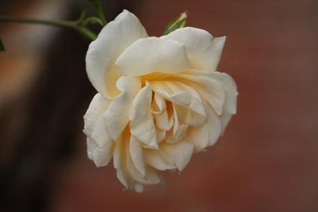 レディヒリンドンの2番花