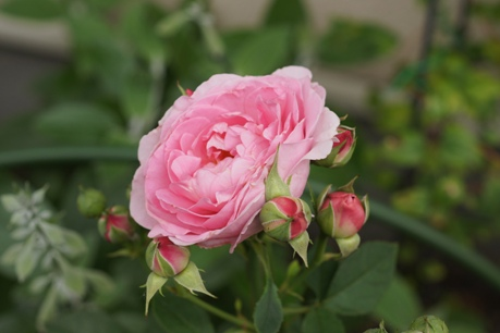 ライラックローズの2番花