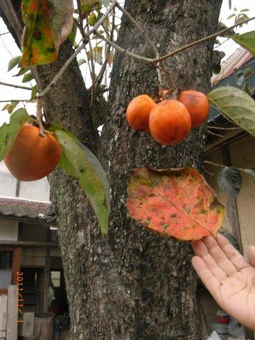 100年柿
