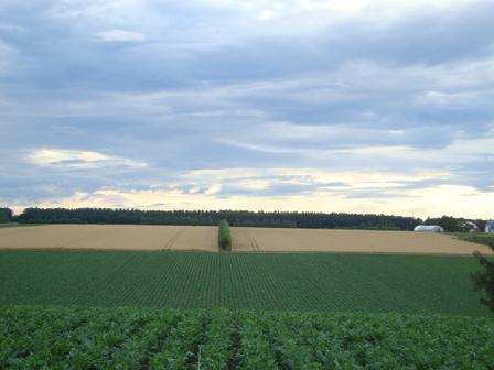 ビート&小麦畑