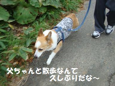 紋父と散歩(紋兄)